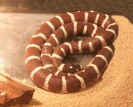 California King Snake Stock Photo - 23844621