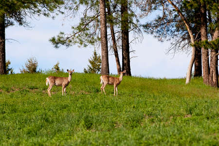 Deer in Field Stock Photo - 23844635