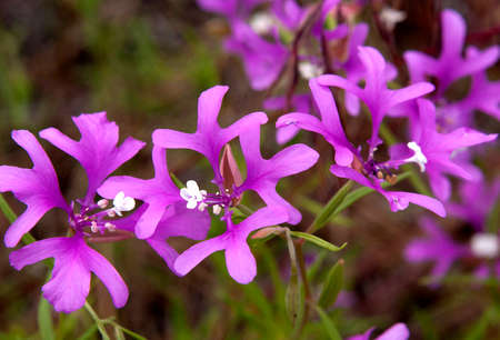 Deerhorn Clarkia Stock Photo - 23844636