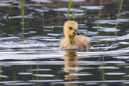 Lone Gosling in Water Stock Photo