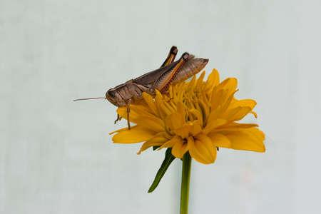 Grasshopper on Yellow Flower Stock Photo - 23818942