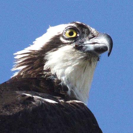 Headshot of Osprey Stock Photo