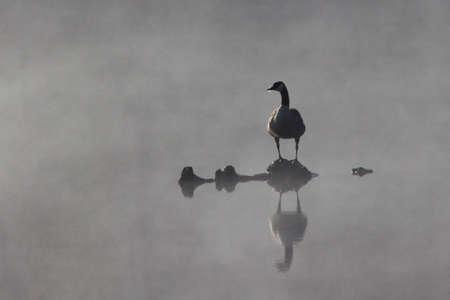 Canada Goose in Fog