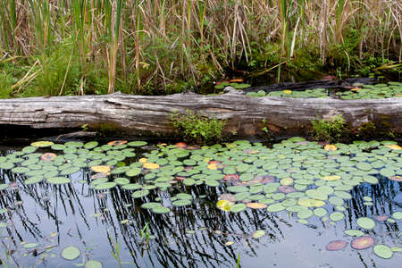 Log amid Lily Pads