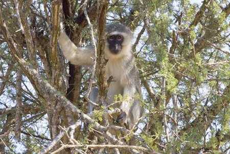 Vervet Monkey Stock Photo
