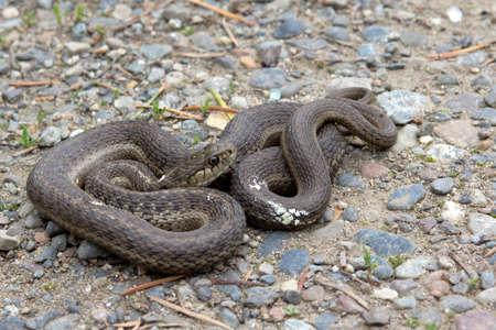 Snake, Brown Racer