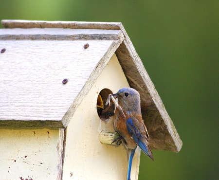 Western Bluebird feeding young