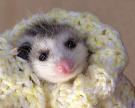 possum: Baby Possum