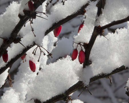 Red Berries in Snow Stock Photo