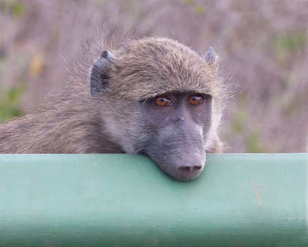 Chacma Baboon watching traffic