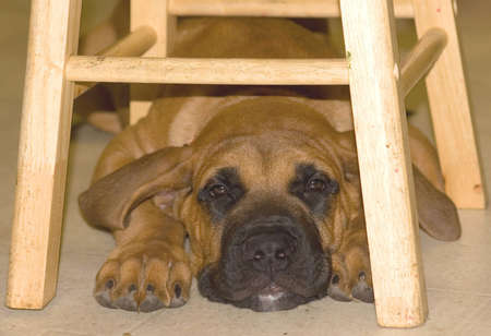 stool: Bull Mastiff Puppy Under Stool