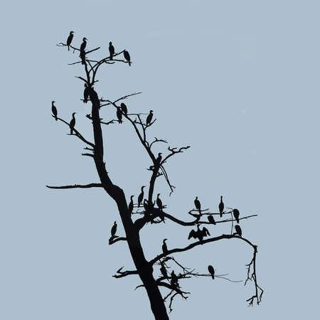Cormorants Stock Photo