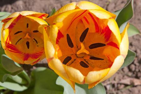 Yellow Tulip, Close-up Stock Photo