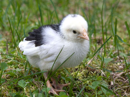 Black and White Chick Stock Photo