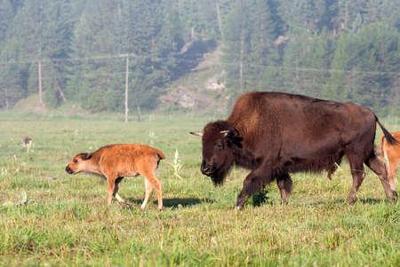 Buffalo Cow and Calf Stock Photo