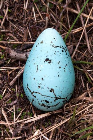 Murre Egg