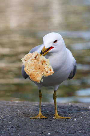 Sea Gull with Bread Stock Photo