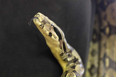 Python, head shot