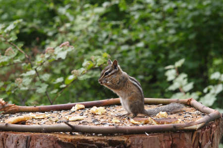 Chipmunk strikes a classic pose for eating