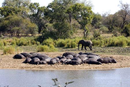 An Elephant strolls by a herd of sleeping Hippopotamus