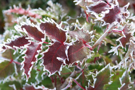 Frost-edge red leaves