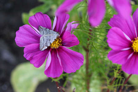 Gray Moth on Pink Cosmos