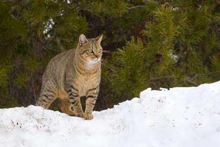 Cat on Snow Bank