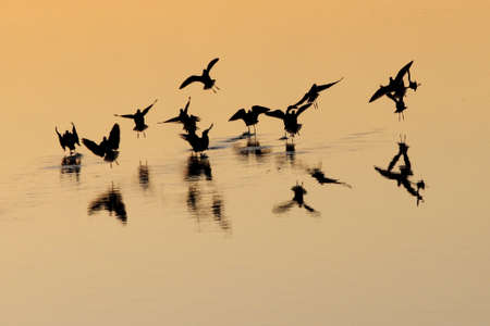 Sandpipers create dancing silhouettes over sunset water