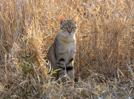 Wild Cat in Africa Stock Photo