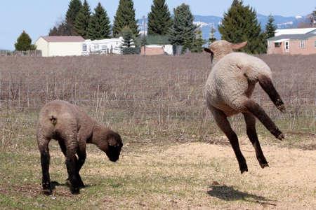 Lamb kicking up his heels