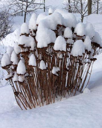 Snow Caps on Weeds