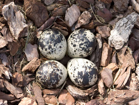 A nest of four Killdeer Eggs Stock Photo