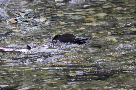 Humpback Salmon Spawning