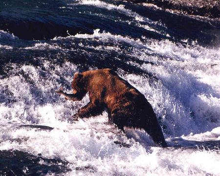 Brown Bear fishing in water fall