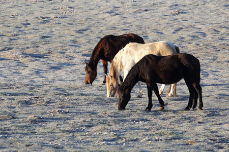 Horses eating grass on a frosty morning Stock Photo
