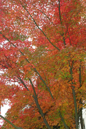 Tall trees alight with colorful Autumn leaves Stock Photo