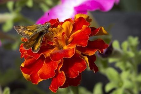 Woodland Skipper on bright orange marigold