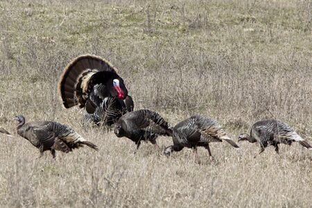 A wild Tom turkey displays in front of several hens Stock Photo