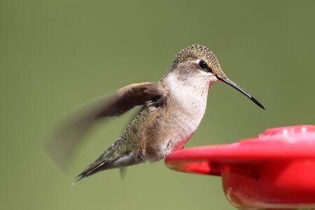 Ruby-throated female Hummingbird on feeder
