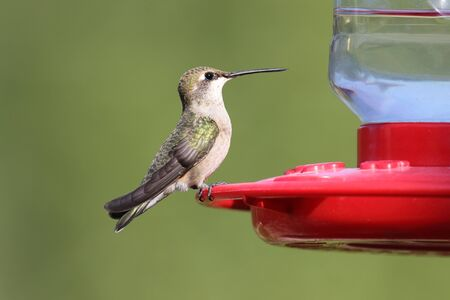 Ruby-throated female Hummingbird at Feeder