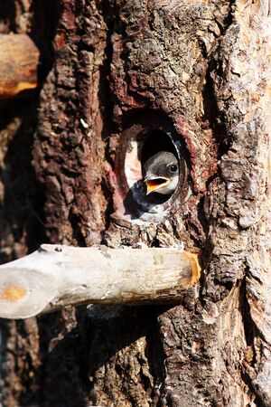 Young Tree Swallow in birdhouse