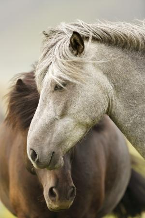Deux chevaux islandais
