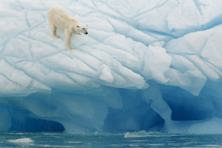 svalbard: Polar bear photographed in the Svalbards islands, Norway Editorial