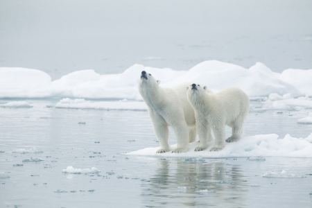 polar bear on the ice: Female and young male at Svalbards islands, Norway