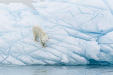 svalbard: Polar bear at Svalbard islands Stock Photo