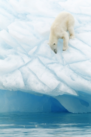 Polar bear at Svalbards islands, Norway photo