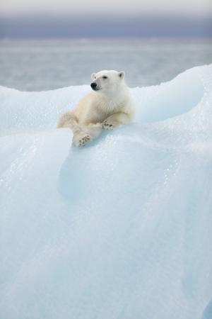 polar bear on the ice: Polar bear at Svalbard islands Stock Photo