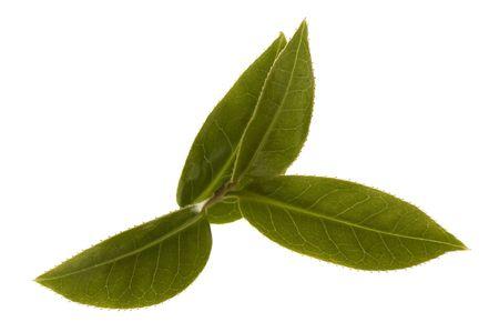 fresh tea branch isoalted on the white background