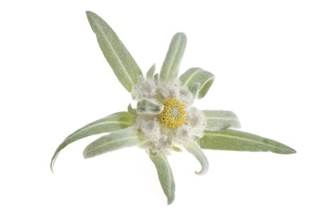 edelweiss. flower isolated on the white backgroud Stock Photo