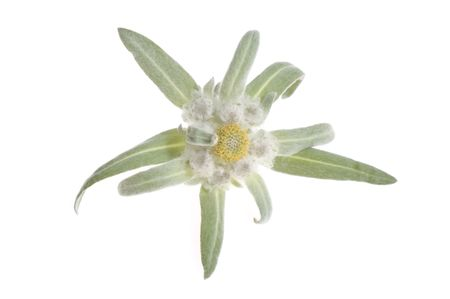 backgroud: edelweiss. flower isolated on the white backgroud
